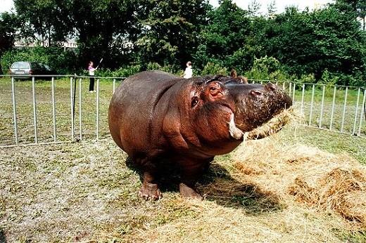На снимке бегемот из Рижского зоопарка