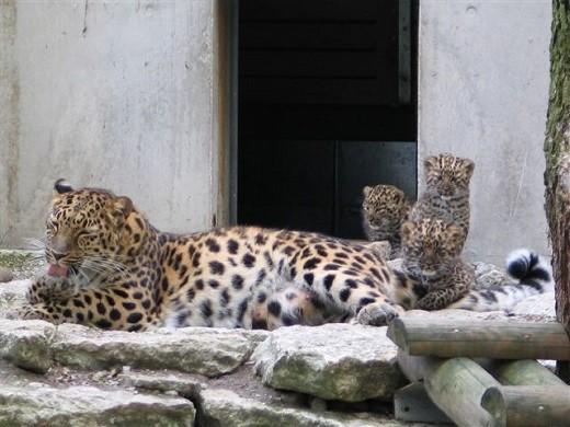 На снимке изображен леопард