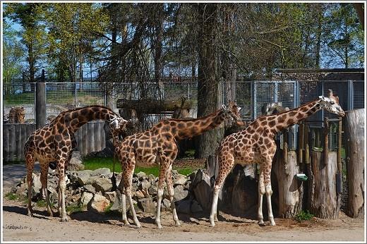 На фото изображены жирафы из Рижского зоопарка