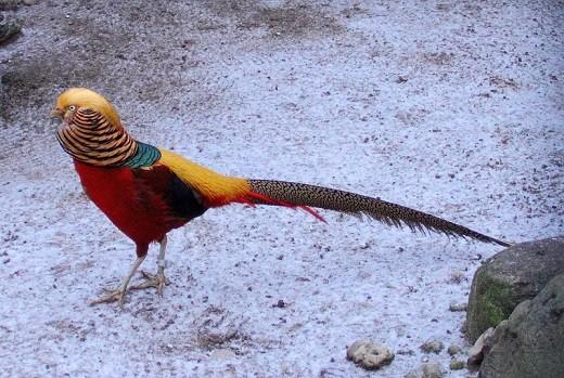 На фото изображение особи золотого фазана